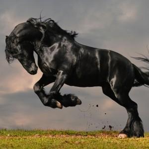 The Black Prince rose a fine black stallion